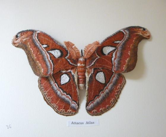 attacus atlas juin 2019